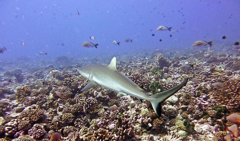 Requin gris - Rangiroa - Polynésie Française