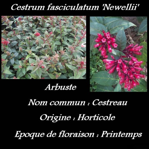 Cestrum fasciculatum 'Newellii'