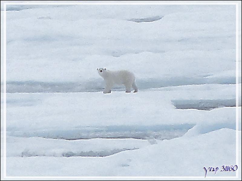 L'observation du premier ours blanc a duré une bonne demi-heure, plus tard, un second, encore plus loin (Polar bear) - Lancaster Sound - Nunavut - Canada