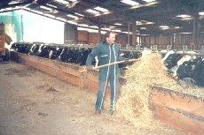 nos vaches à l'étable