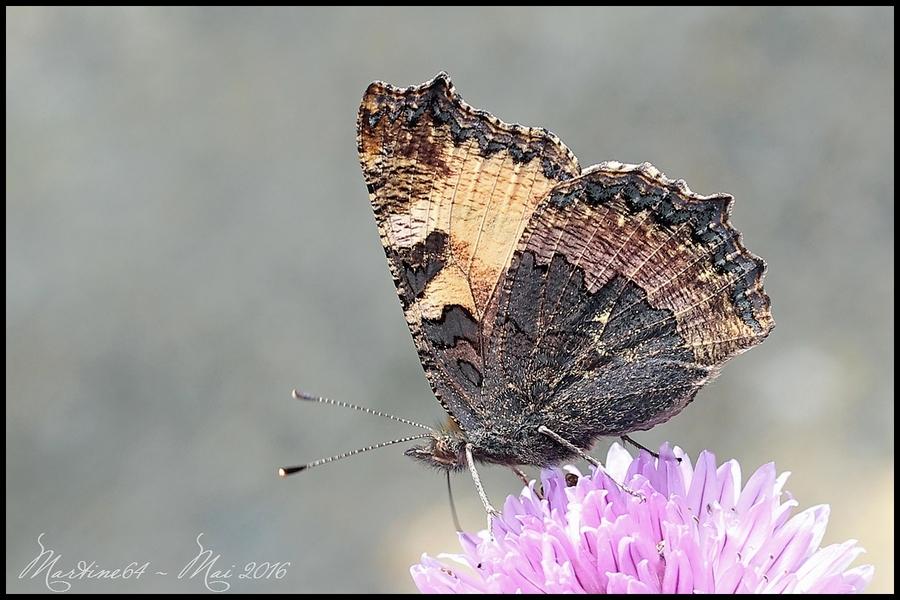 Papillon : La Petite Tortue