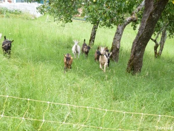 Les chèvres (2)