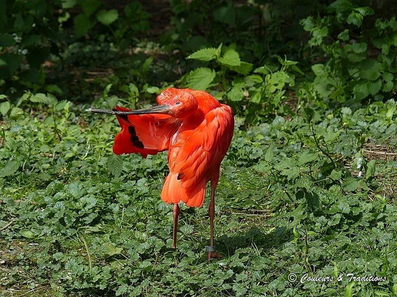 Ibis rouge
