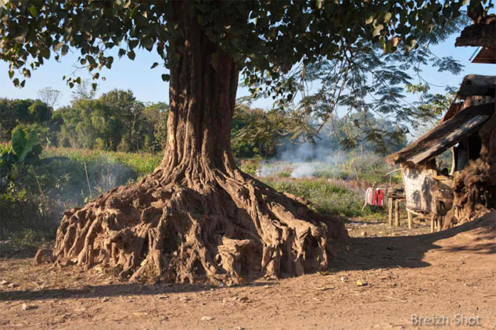 Ban Pasak : Des racines et un banian