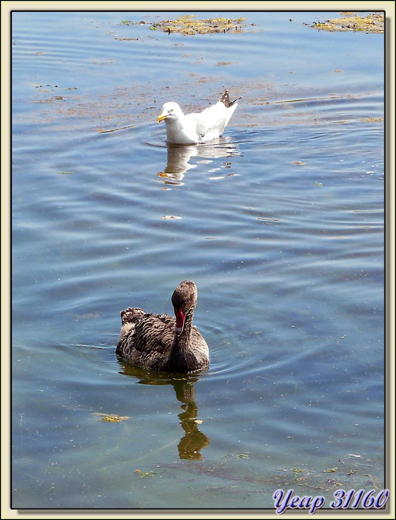 Le goéland et le jeune cygne noir - Ars-en-Ré - Ile de Ré - 17