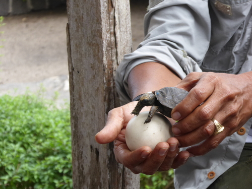 Isabela, spécial tortues terrestres à Puerto Villamil