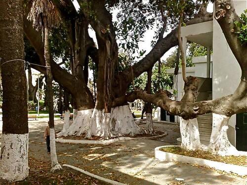 Tanger ...le jardin de la Mandoubia ...arbre centenaire <3