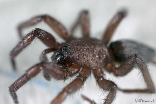 Arachnide Haplodrassus (A confirmer)