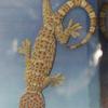 Gecko tokay.