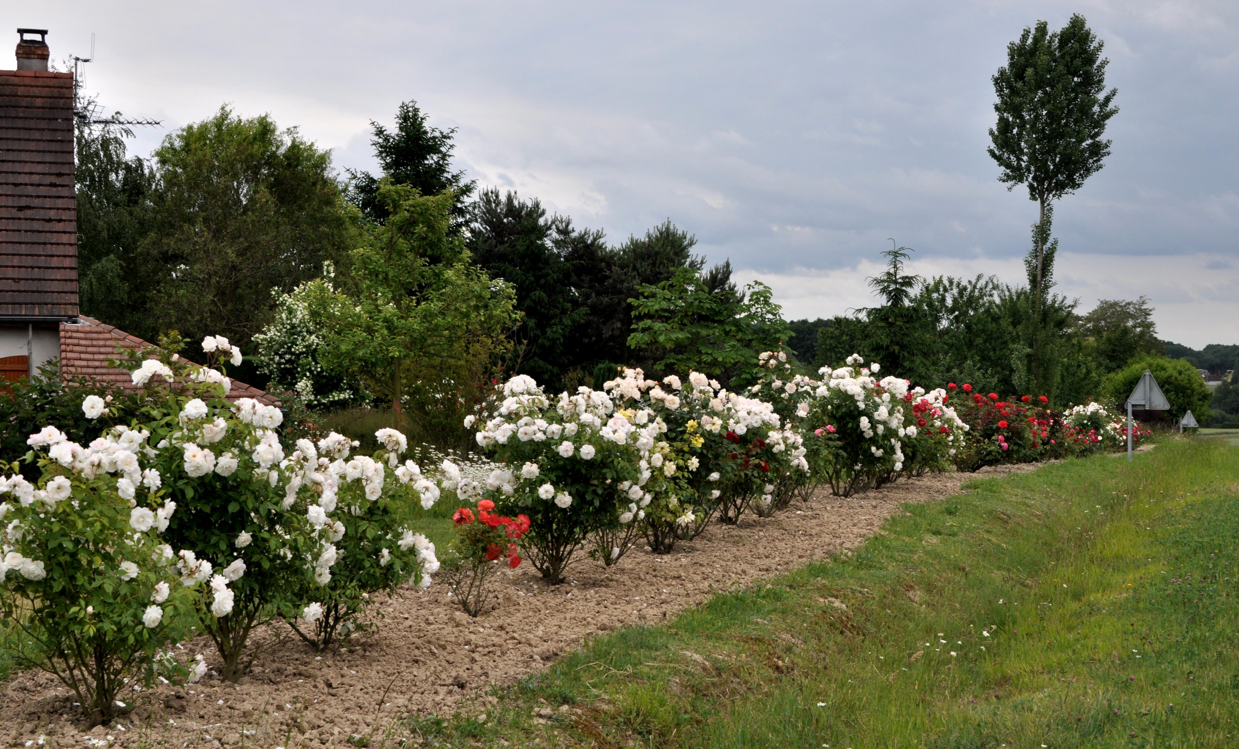 distance plantation rosiers collection design inspiration pour le jardin et son. Black Bedroom Furniture Sets. Home Design Ideas