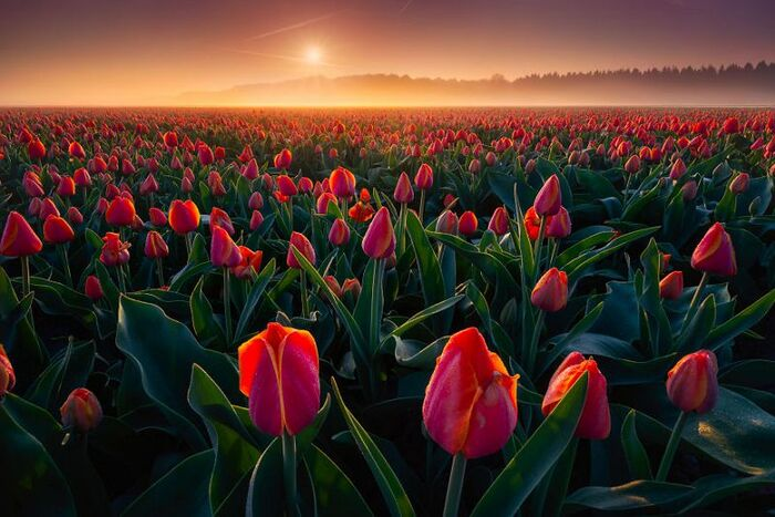 Les plus belles Photos de Tulipes des Pays-Bas