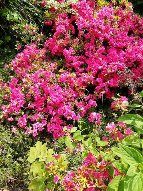 parc du moulin brûlé - rhododendrons et azalées