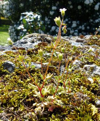 Saxifraga tridactylites  -  saxifrage tridactyle - saxifrage à trois doigts