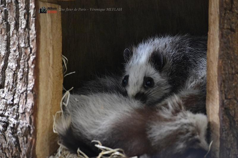 Ménagerie du Jardin des Plantes : Le Rat des Nuages
