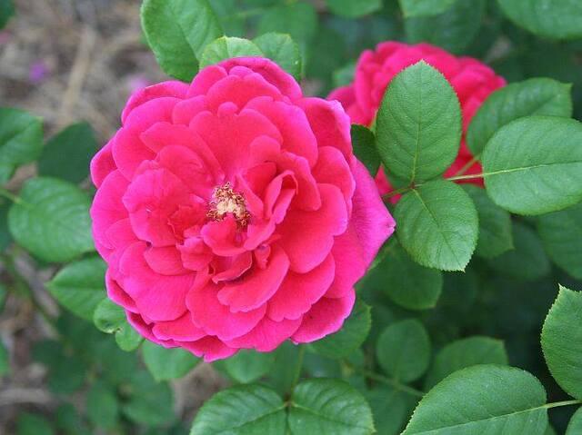 Les Roses de Warren : Princesse Vega