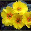 Fleurs primevéres.jpg