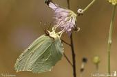 Citron de Provence (Gonepteryx cleopatra) - Pieridae