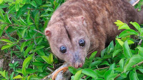 Un couscous de Woodlark, petit marsupial endémique à l'île de Papouasie-Nouvelle-Guinée, regarde apeuré.