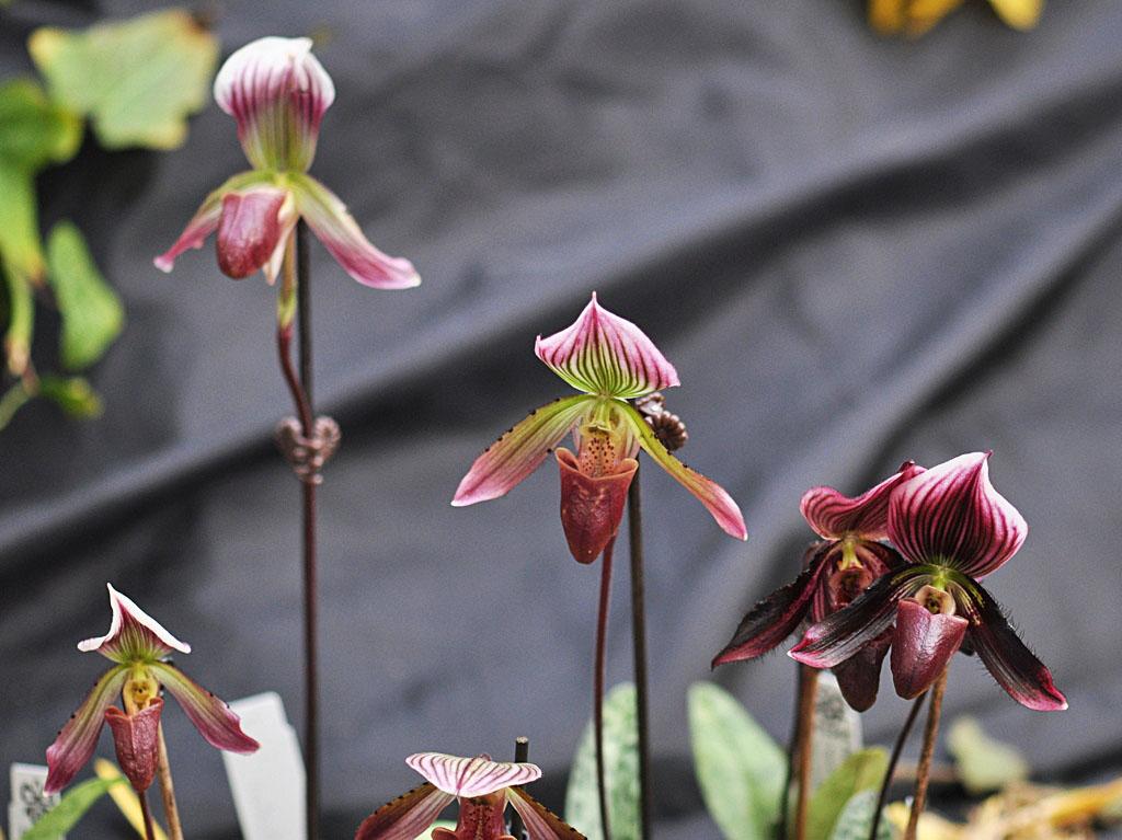 Exposition d'orchidées à Annequin (6)