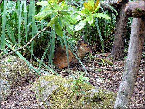 Muntjac de Reeves (Zoo de Doué la Fontaine)