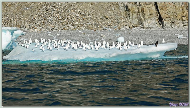 Les Growlers, les Mouettes tridactyles et le Vilain petit canard - Cambridge Point - Coburg Island - Baffin Bay - Nunavut - Canada