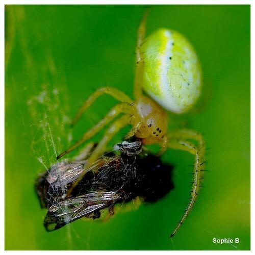 Le festin de l'araignée .