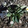 Renoncule amplexicaule ou à feuilles embrassantes (Ranunculus amplexicaulis)