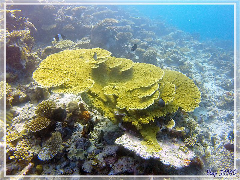 Corail tabulaire acropore - Moofushi - Atoll d'Ari - Maldives