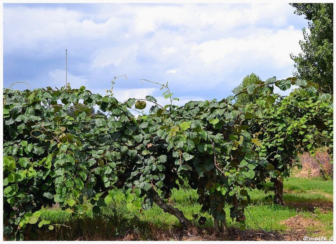 La kiwiculture en Corse
