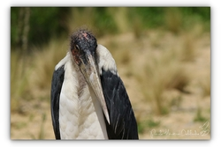 Marabout d'Afrique - Parc des oiseaux