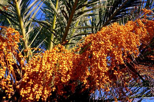 Le palmier et ses fruits !