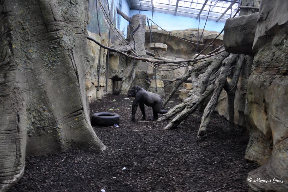Les gorilles du zoo d'Amnéville en Moselle