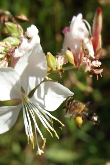 Une abeille qui récolte le pollen sur la face interne de ses pattes postérieures