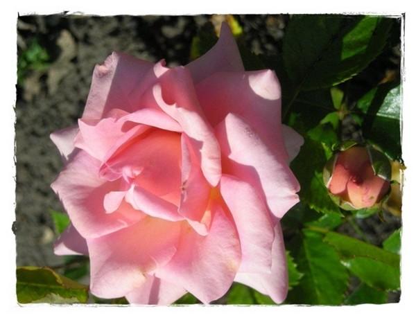 Senteurs de rose ...