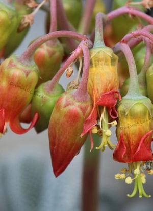 Cotyledon Orbiculata Macrantha - Zoom sur les feurs