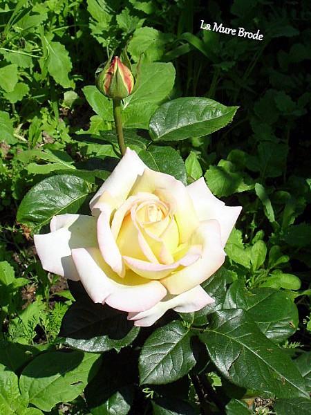 rose chaise sal grandsire 006-001