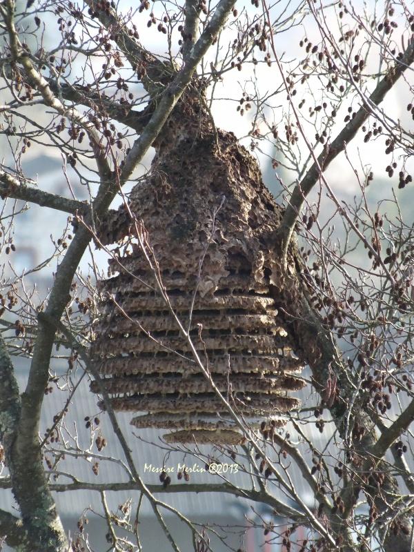 Hyménoptère : Frelon asiatique, Vespa velutina