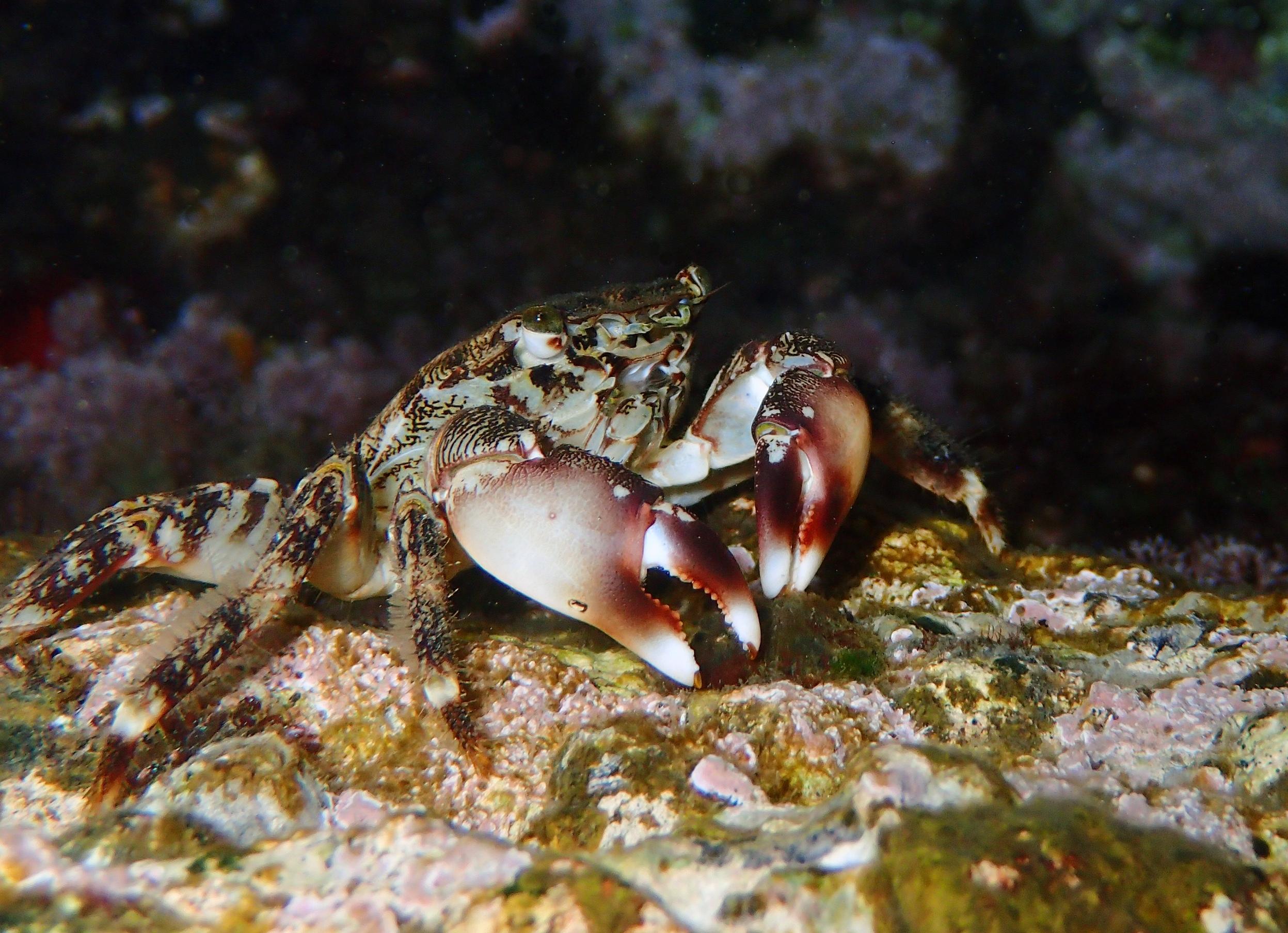 crabe marbré