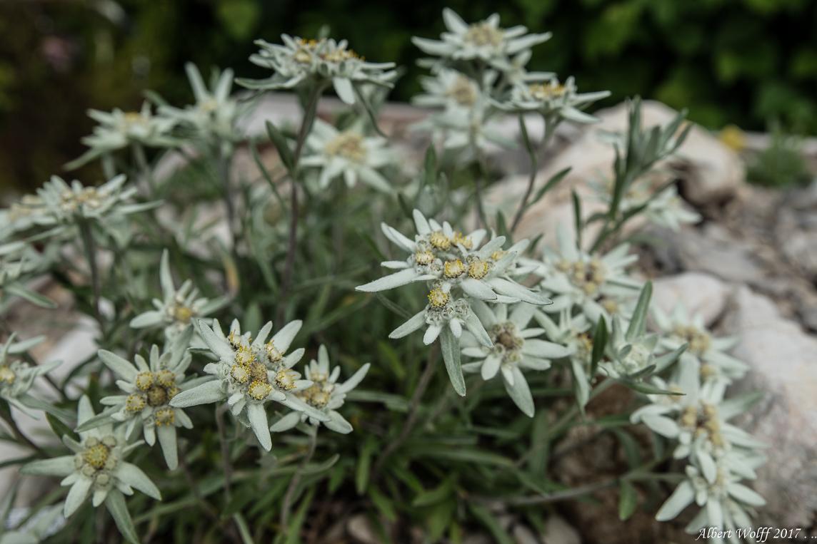 Les petites fleurs de l'Eolienne