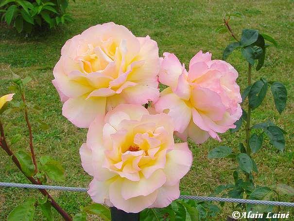 Rose_Juil08_1