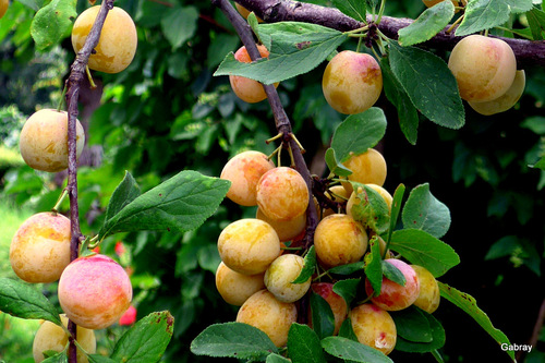 Les prunes de mon jardin ...