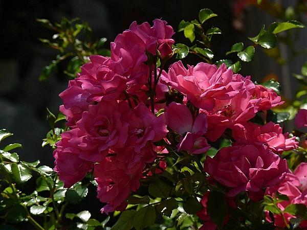 Rose-Emera-bouquet sur une tige