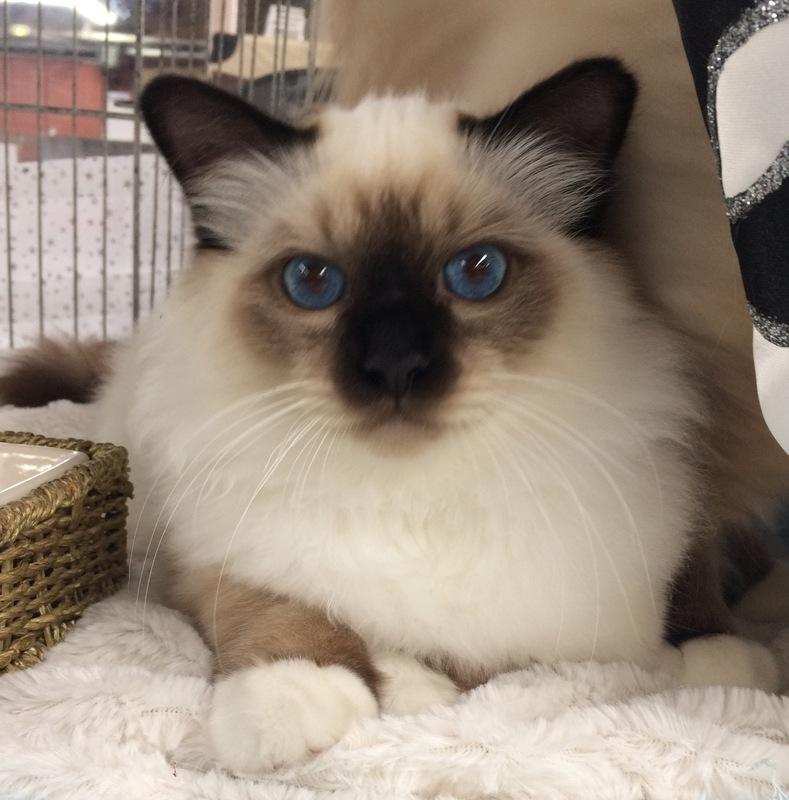 ORLOFF chaton disponible pour compagnie