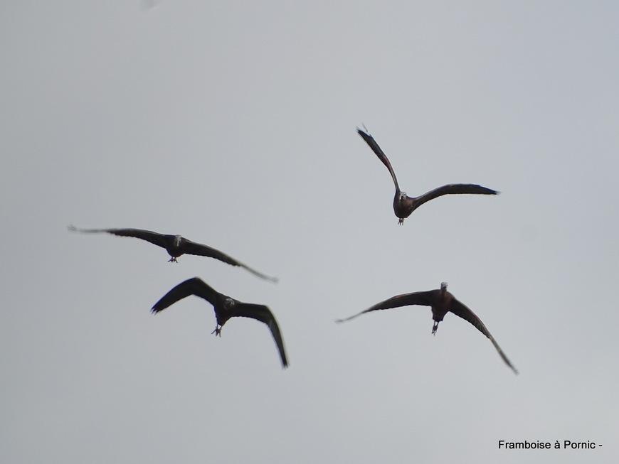 Oiseaux au salineau  - Janvier 2019