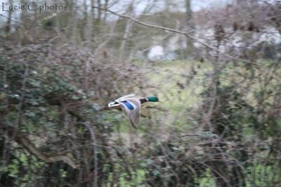Blog de jephotographie :jephotographie, canard colvert