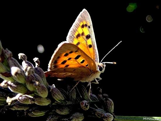 Papillons de jour
