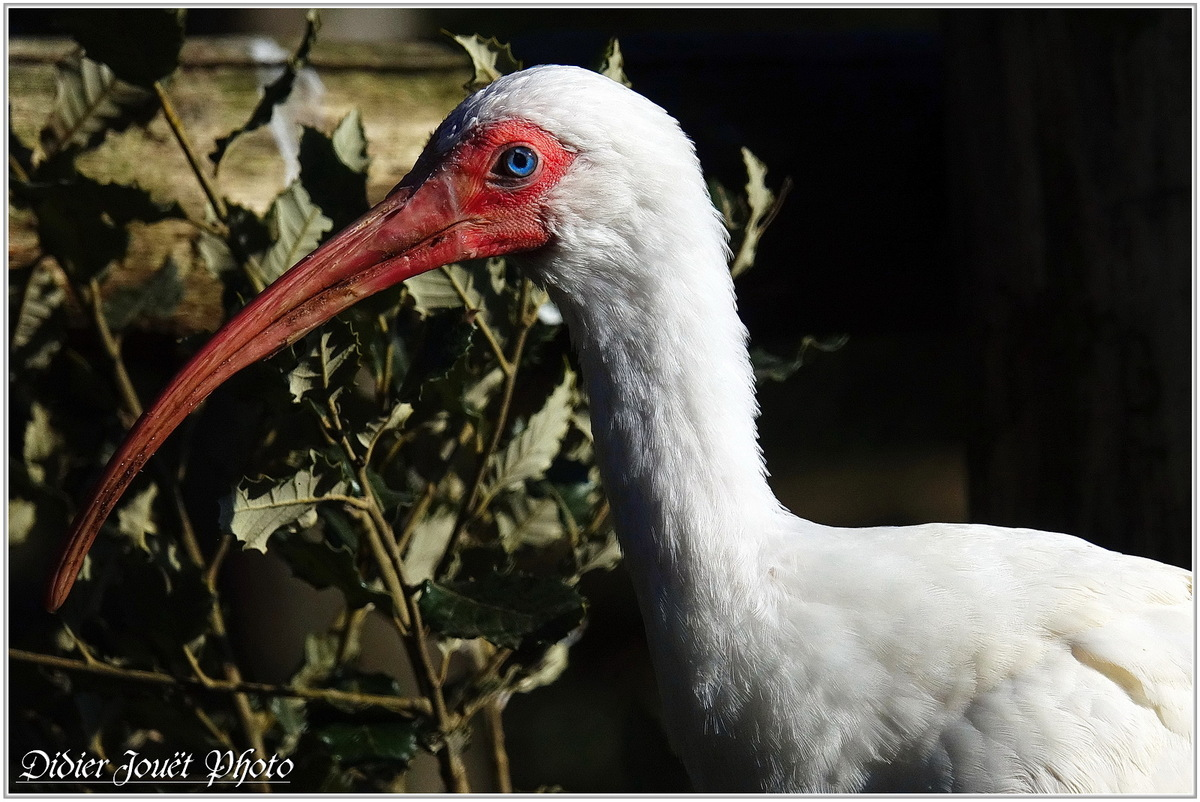 Ibis Blanc (1) - Eudocimus albus