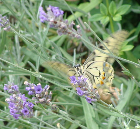 le_Machaon__5_
