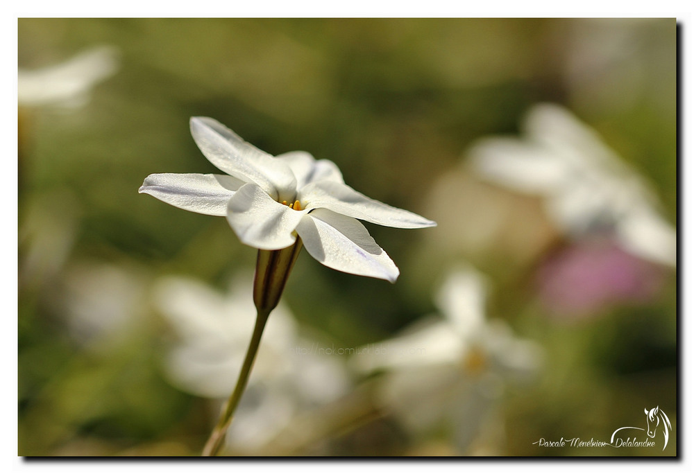 Jeudi 28 avril 2016 - Ipheion uniflorum, Brodiaea uniflora