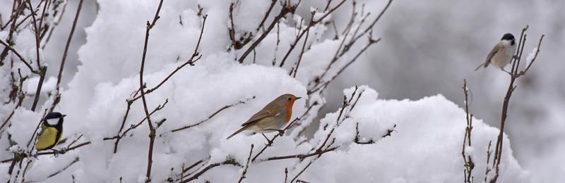 Nos visiteurs d'hiver (1)